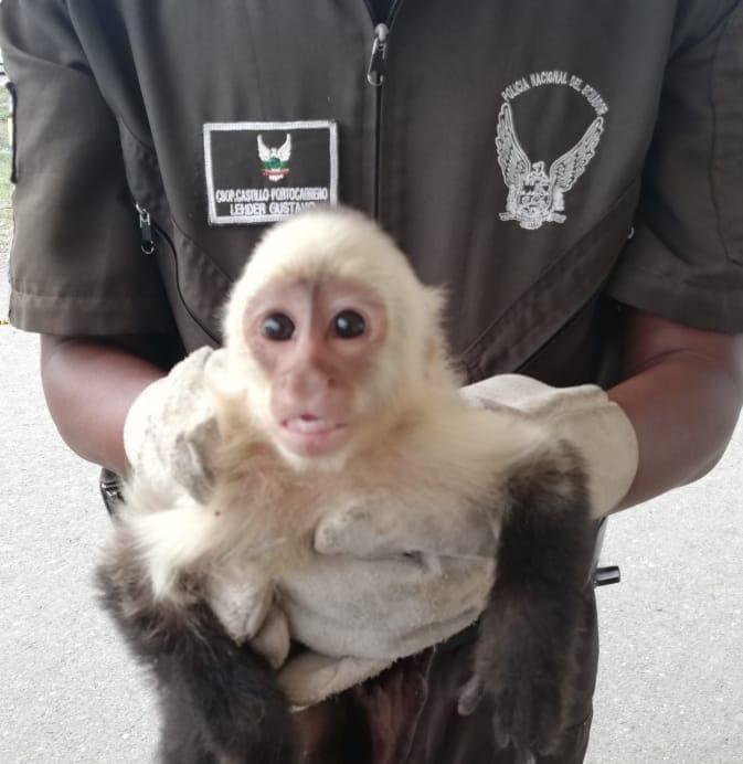 Rescatan mono capuchino