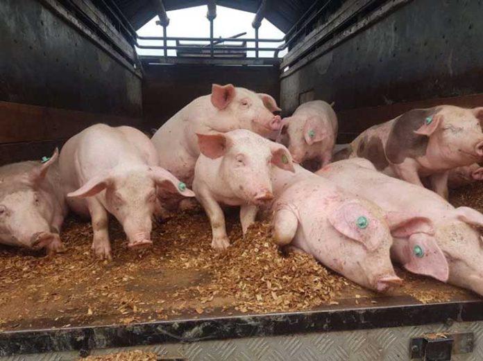 CRIANZA. La venta de los porcinos fortalece la económica de los pequeños productores.