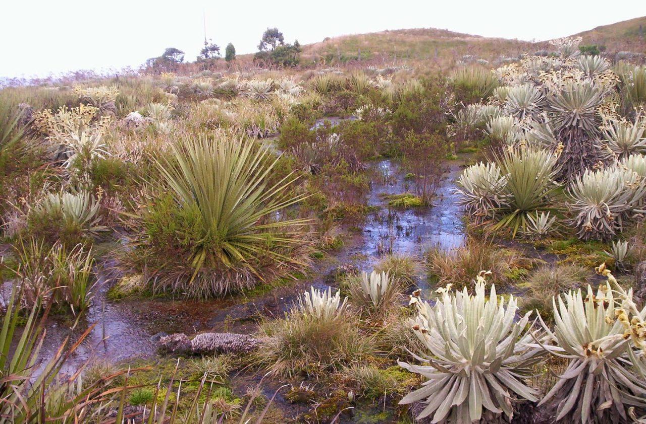 Afectaciones. En los páramos de Carchi las especies nativas son destruidas por el hombre.