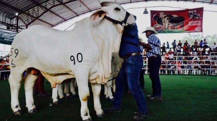 PROGRAMA. En la feria se expondrán bovinos de distintas razas.